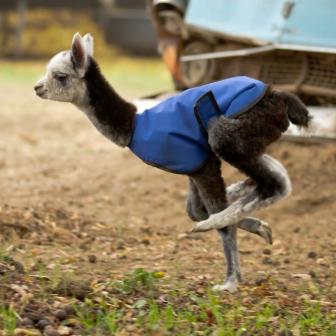 ça c'est un bébé alpaga avec un gilet qui fait du yoga.